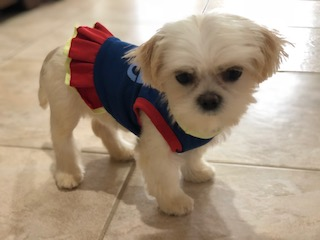 Looking For Information On Shih Tzu Mix With Tea Cup Shih Tzu